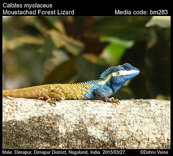 Calotes mystaceus - Moustached Forest Lizard