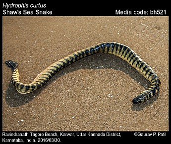 Hydrophis curtus - Shaw's Sea Snake