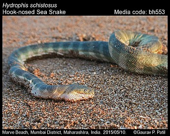 Hydrophis schistosus - Hook-nosed Sea Snake
