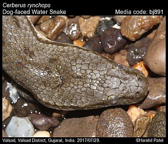 Cerberus rynchops - Dog-faced Water Snake