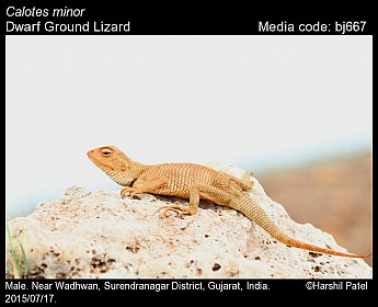 Calotes minor - Dwarf Ground Lizard