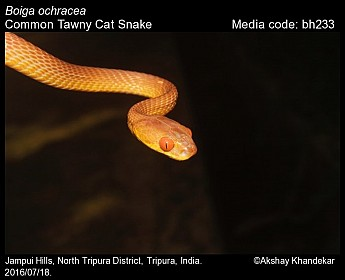 Boiga ochracea - Common Tawny Cat Snake