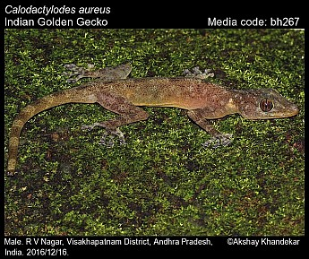 Calodactylodes aureus - Indian Golden Gecko