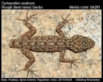 Cyrtopodion scabrum - Rough Bent-tailed Gecko