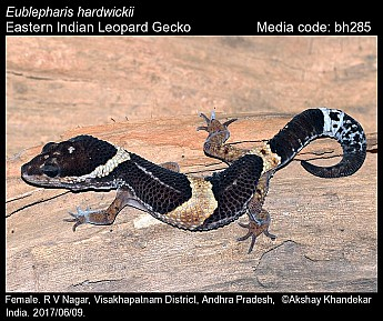 Eublepharis hardwickii - Eastern Indian Leopard Gecko