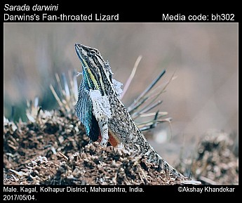 Sarada darwini - Darwins's Fan-throated Lizard