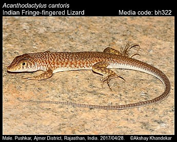 Acanthodactylus cantoris - Indian Fringe-fingered Lizard