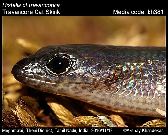 Ristella travancorica - Travancore Cat Skink
