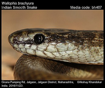 Wallophis brachyura - Indian Smooth Snake