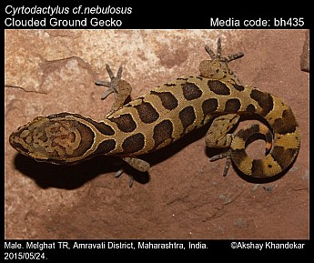 Cyrtodactylus nebulosus - Clouded Ground Gecko