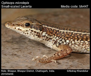 Ophisops microlepis - Small-scaled Lacerta