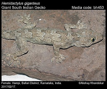 Hemidactylus giganteus - Giant South Indian Gecko
