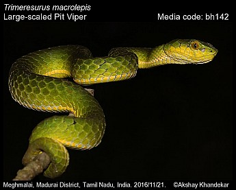 Trimeresurus macrolepis - Large-scaled Pit Viper