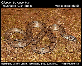 Oligodon travancoricus - Travancore Kukri Snake