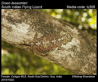 Draco dussumieri - South Indian Flying Lizard