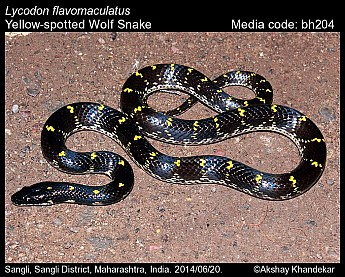 Lycodon flavomaculatus - Yellow-spotted Wolf Snake