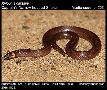 Xylophis captaini - Captain's Narrow-headed Snake