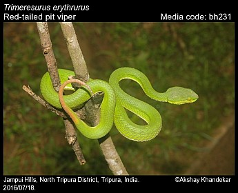 Trimeresurus erythrurus - Red-tailed Pit Viper