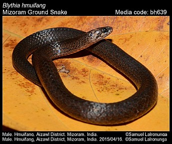 Blythia hmuifang - Mizoram Ground Snake