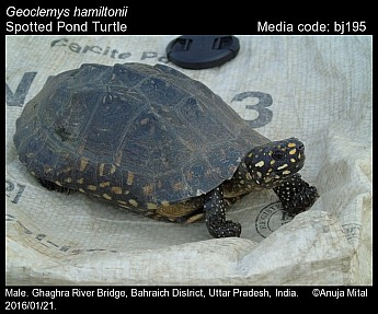 Geoclemys hamiltonii - Spotted Pond Turtle