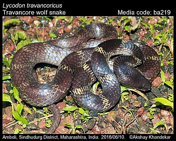 Lycodon travancoricus