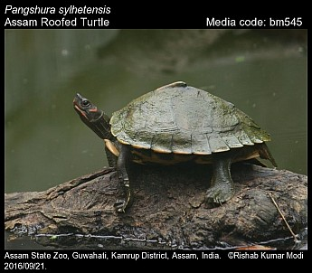 Pangshura Sylhetensis Assam Roofed Turtle Reptiles Of