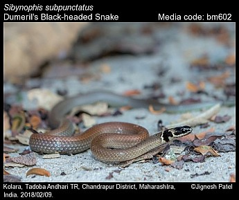 Sibynophis subpunctatus - Dumeril's Black-headed Snake