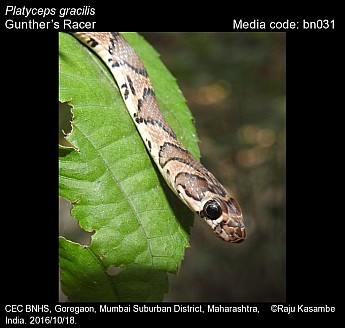 Platyceps gracilis - Gunther's Racer