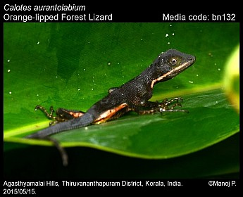 Calotes aurantolabium - Orange-lipped Forest Lizard