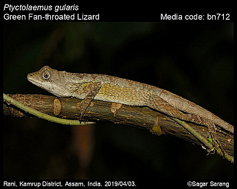 Ptyctolaemus gularis - Green Fan-throated Lizard