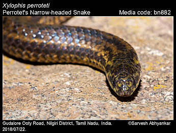 Xylophis perroteti - Perrotet's Narrow-headed Snake