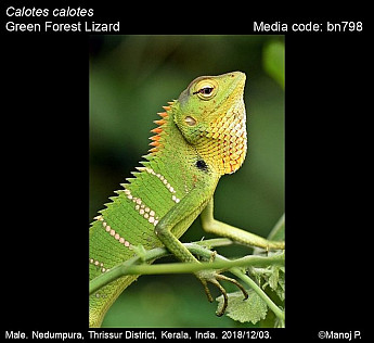 Calotes calotes - Green Forest Lizard
