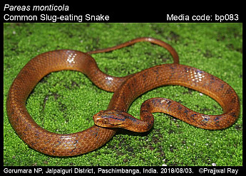 Pareas monticola - Common Slug-eating Snake