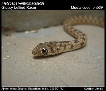 Platyceps ventromaculatus - Glossy-bellied Racer