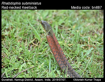 Rhabdophis subminiatus - Red-necked Keelback