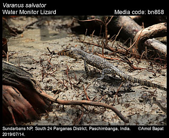 Varanus salvator - Water Monitor Lizard