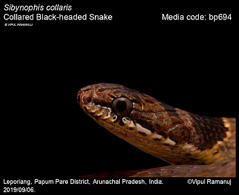 Sibynophis collaris - Collared Black-headed Snake
