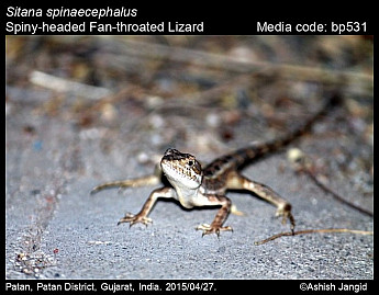 Sitana spinaecephalus - Spiny-headed Fan-throated Lizard