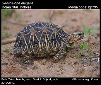Geochelone elegans - Indian Star Tortoise
