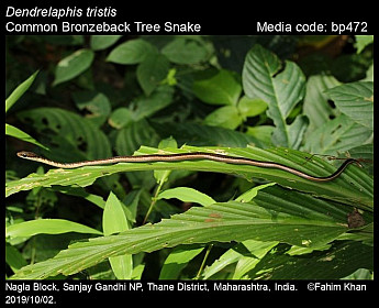 Dendrelaphis tristis - Common Bronzeback Tree Snake