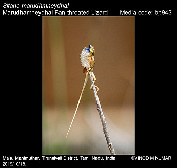 Sitana marudhmneydhal - Marudhamneydhal Fan-throated Lizard